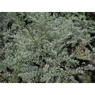 Жимолость шапочная , Lonicera nitida - 'Silver Beauty'