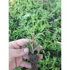 Туя западная 'Ауреоспиката' двухлетка, Thuja occidentalis 'Aureospicata'