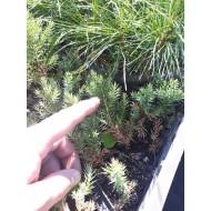 Можжевельник китайский Стрикта однолетка, Juniperus chinensis Stricta