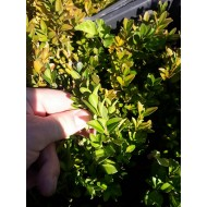Самшит Buxus sempervirens двухлетка