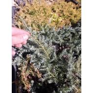 Можжевельник чешуйчатый Блю Карпет двухлетка, Juniperus squamata Blue Carpet
