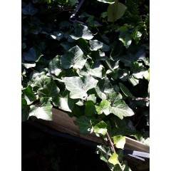 Hedera helix Thorndale двухлетка