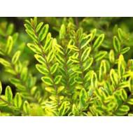 Жимолость шапочная , Lonicera nitida 'Lemon Beauty'