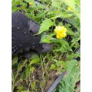 Керрия японская, Kerria japonica   ТОВАРА НЕТ В НАЛИЧИИ