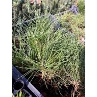 Pinus ponderosa, Сосна желтая, двухлетка