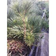 Сосна горная  4-х летка Pinus mugo mughus