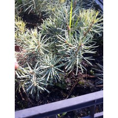 Abies concolor glauca Пихта двухлетка Голубая (Пихта калифорнийская Глаука )
