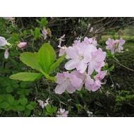 Rhododendron schlippenbachii, бело-розовый, листопадный, из семян