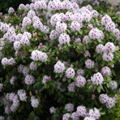 rhododendron hybridum, бело-розовый, вечнозеленый, из семян