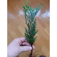 Туя западная Ауреаспиката Thuja occidentalis Aureospicata
