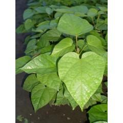 Катальпа (из семян)