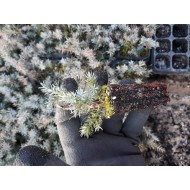 Можжевельник китайский Блю Альпс, Juniperus chinensis Blue Alps