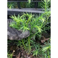 Криптомерия японская, Cryptomeria japonica, двухлетка