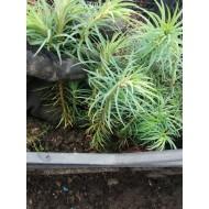 Кунингамия ланцетовидная, cunninghamia lanceolata, двухлетка