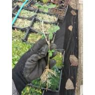 Бобовник анагиролистный Labūrnum anagyroīdes из черенков