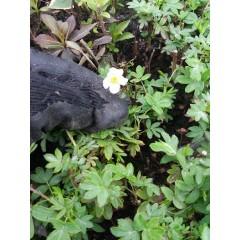 Лапчатка белая, Potentilla alba