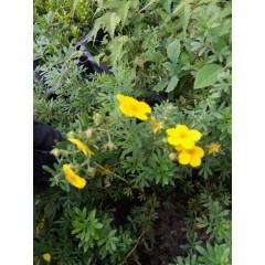 лапчатка желтая, Potentilla