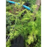 Метасеквойя глиптостробовидная , Metasequoia glyptostroboides