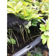 Пион древовидный Paeоnia suffruticоsa из семян