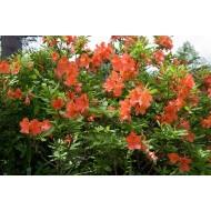 Rhododendron japonicum, розовий, листопадный, из семян